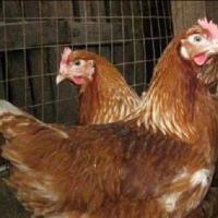 Куры на яйцо Кубанская Красная несушка