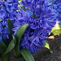 Луковицы Гиацинта Blue Star Синий, Белый Blue Star Синий, Белый