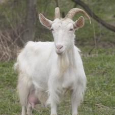 Отдам козу бесплатно (СРОЧНО) Обычная русская коза